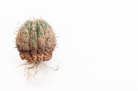 Cactus disease dry root rot caused by fungi, severe damage fungi infected Melocactus isolated on white background showing serious damage at skin and root Standard-Bild