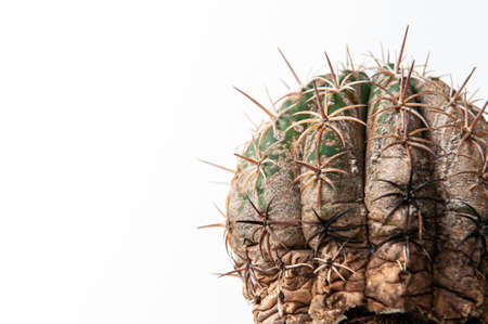 Cactus disease dry root rot caused by fungi, severe damage fungi infected Melocactus isolated on white background showing serious damage at skin