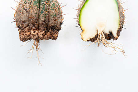 Cactus disease dry root rot and rust plant caused by fungi, half cut fungi infected Melocactus isolated on white background showing serious damage at skin and root