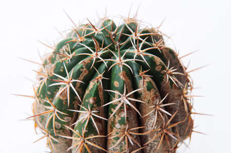 Cactus disease dry root rot caused by fungi, severe damage fungi infected Gymnocalycium cactus isolated on white background showing serious damge at skin