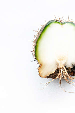 Cactus disease dry root rot caused by fungi, half cut fungi infected Gymnocalycium cactus isolated on white background showing serious damge at skin and root