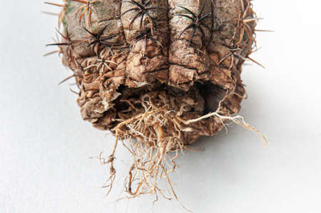Cactus disease dry root rot caused by fungi, severe damage fungi infected Gymnocalycium cactus isolated on white background showing serious damge at skin and root