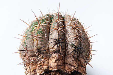 Cactus disease dry root rot caused by fungi, severe damage fungi infected Gymnocalycium cactus isolated on white background showing serious damge at skin Standard-Bild