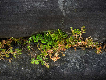 Young tiny green Spike Moss fern plant grown from rough hard stone cracks - hope and success concept Фото со стока
