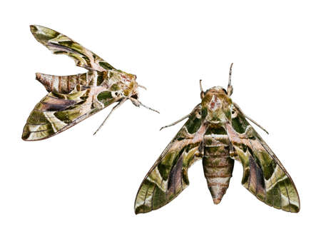 Large beautiful Oleander hawk-moth - Army green moth isolated on white background with work path embed