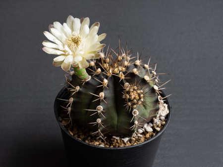 Cactus flower light yellow colours full bloom gymnocalycium cactus flower. dark background Фото со стока