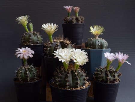 Cactus flower assorted full bloom various colours gymnocalycium and  Astrophytum cactus flower. dark background