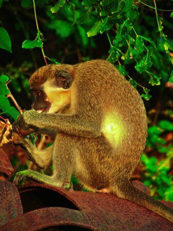 Green Vervet Monkey Eating Sugar Cane