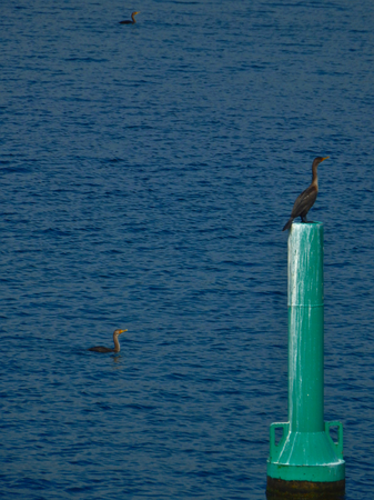 Cormorant on floating post Imagens