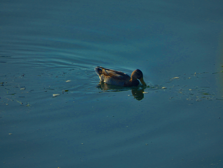 Duck swimming and eating