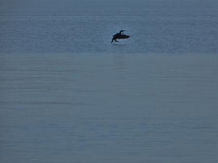 Cormorant landing Stock Photo