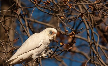 A white sulfur-crested cockatoo found on a dead tree in Melbourne Stock Photo