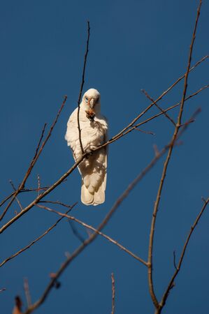 A white sulfur-crested cockatoo found on a dead tree in Melbourne Stockfoto
