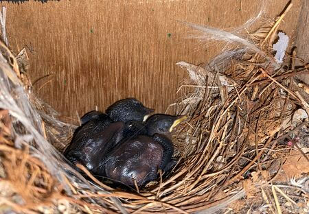 2 newly born birds are sleeping in the nest in a bird house Standard-Bild