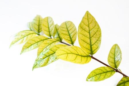 Green Leaf Standard-Bild - 21743648