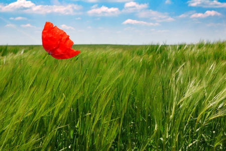 fullness: metaphoric poppy in a wheat field