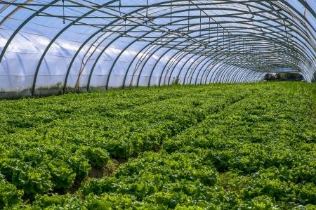 kassen: Jonge planten groeien in een zeer grote plantenkwekerij in de france