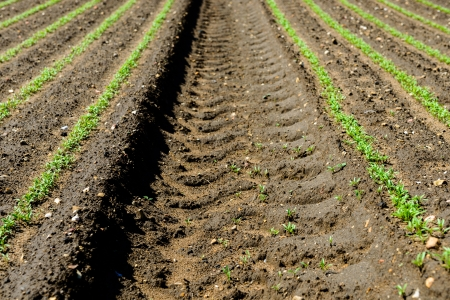 furrow: Young plants growing in a field Stock Photo