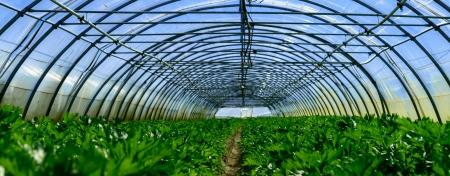 diuretic: Celery greenhouse culture Stock Photo