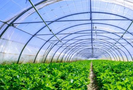 Celery culture in a greenhouse