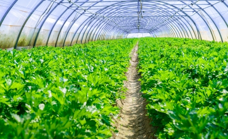 diuretic: growing vegetables in a greenhouse Stock Photo