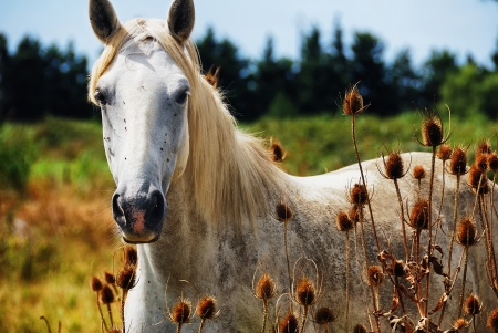 Portrait of horse wild in camargue french Region photo