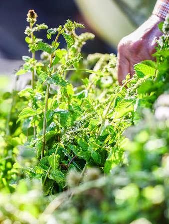 tunisie: branch of green mint on an oriental market