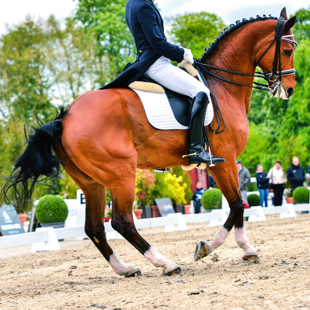 dressage horse and rider on dressage competition - pirouette at walk