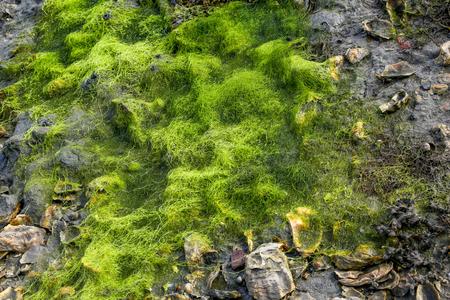 algas verdes: ostras y algas verdes en su parque en el sur de Breta�a