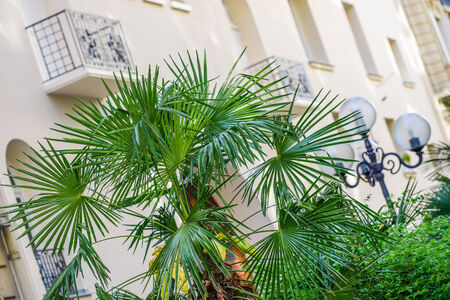Bright green Bismark palm in front of a white building photo