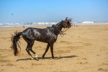 beautiful dark stallion galloping across sandy beach area