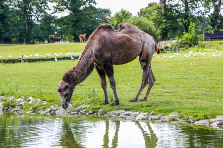 Dark Bactrian camel (Camelus bactrianus) drinking confidently across the field in the afternoon. Stock Photo