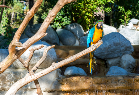 rostrum: Blue-and-yellow macaw (Ara ararauna), Macaw parrot