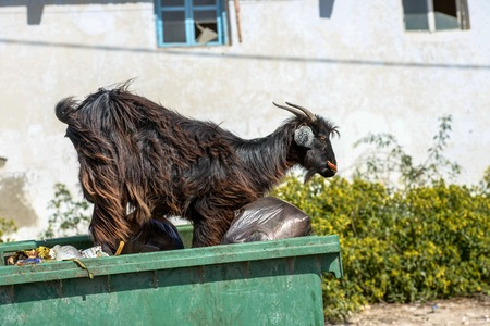 Hairy black he-goat on top of a waste bin outside a house