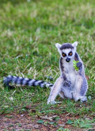 Close up on the lemurs (ring-tailed lemur) eating leaf