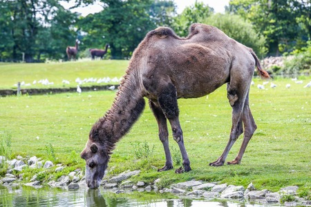 without legs: Dark Bactrian camel (Camelus bactrianus) drinking confidently across the field in the afternoon. Stock Photo