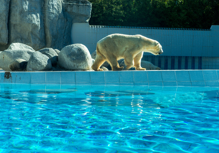 Thalarctos Maritimus (Ursus maritimus) commonly known as Polar bear on the waterfront at the zoo Stock Photo