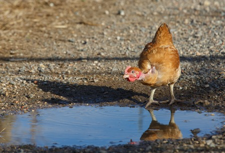 freely: chicken drinking freely in a lush green paddock
