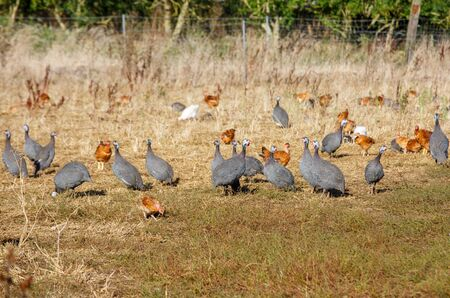 freely: flock of guinea fowl roaming freely in a lush green paddock of an organic breeding Stock Photo