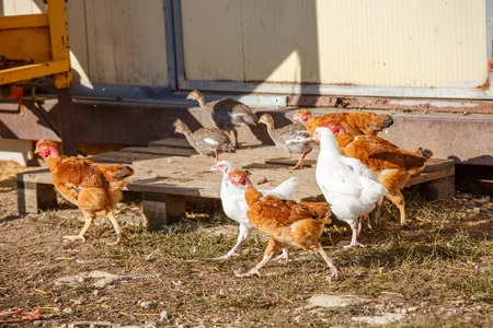 freely: closeup on a laying hen roaming freely in a lush green paddock Stock Photo