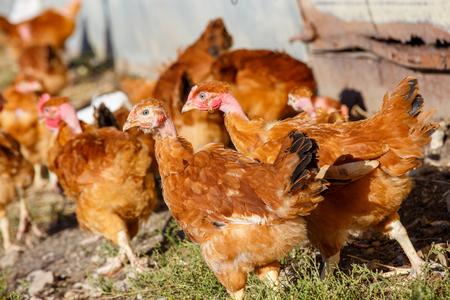 flock of chickens roam freely in a lush green paddock of an organic breeding