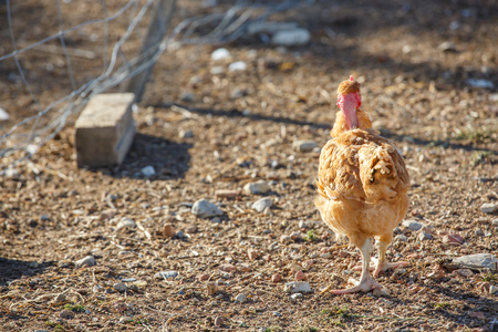 closeup on a laying hen roaming freely in a lush green paddock Stock Photo