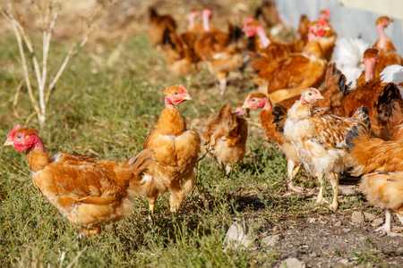 freely: flock of chickens roam freely in a lush green paddock of an organic breeding