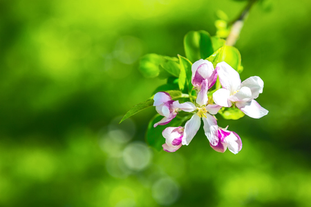 Fruit tree blossom close-up. Shallow depth of field Stock Photo