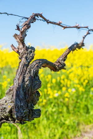 Vine during spring in vineyard with yellow field on background Stock Photo
