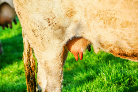 closeup on cow udder of a young cow in a meadow Stock Photo