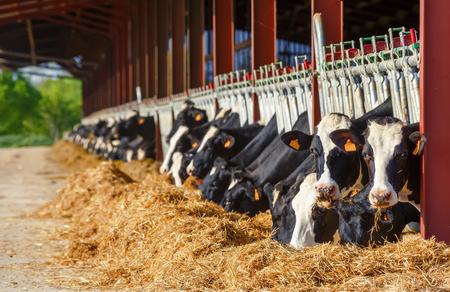 Beaucoup de vache Holstein mangeant dans une ferme laitière