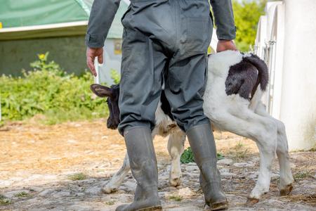 Young calf holstein with a farmer n a nursery for cows in a dairy farm