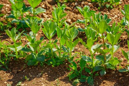 Organic vegetable garden, growing palnt.