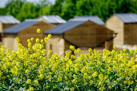Ecological town garden with small wooden cabin and rapeseed in the foreground